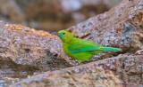 Blue-winged Leafbird, fem