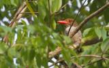 Banded Kingfisher, fem