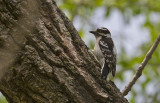 Dawny Woodpecker