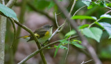 American Redstart, fem
