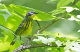 Magnolia Warbler, fem