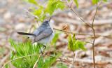 Blue and grey Gnatcatcher