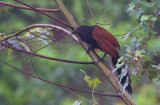 Southern Greater Coucal