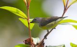 Legges Flowerpecker