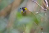 Yellow-eared Bulbul