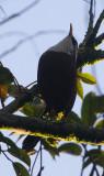 Sri Lanka Scimitar Babbler