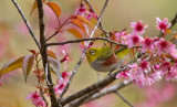 Chestnut-flanked Whiteeye