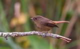 Slaty-blue Flycatcher, fem