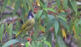 Crested Finchbill