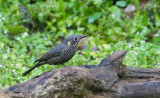 Chestnut-bellied Rockthrush, fem