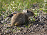 Ground Squirrel Youngster