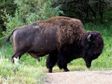 Buffalo in Theodore Roosevelt Nat Park
