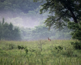 Deer on a Steamy Summer Day