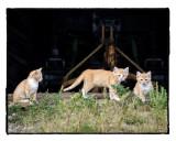 Three Little Kittens Branstad Farm