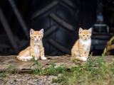 Two Orange Farm Kittens