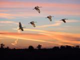 Sandhill Cranes at Crex Meadows