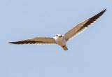Black-winged Kite / Elanus caeruleus vociferus