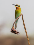 Blue-tailed Bee-eater / Merops philippinus