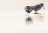 Spoon-billed Sandpiper / Calidris pygmeus