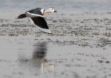 Cotton Pygmy Goose / Nettapus coromandelianus