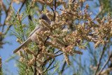 Moltoni's Warbler - Sylvia subalpina