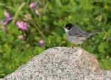 Sardinian Warbler - Sylvia melanocephalus