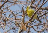Corsican Finch - Carduelis corsicana