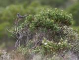 Marmora's Warbler - Sylvia sarda