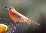 Hepatic Tanager - male_5700.jpg