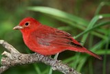 Summer Tanager - breeding male_8228.jpg