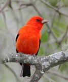 Scarlet Tanager - breeding male_6492.jpg