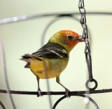 Western Tanager - male breeding_0098.jpg