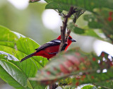 White-winged Tanager - male_5268.jpg