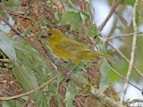 Carmiol's Tanager_1495.jpg