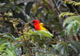 Red-hooded Tanager_1415.jpg