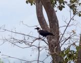 Collared Crow_5300.jpg