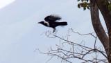 Collared Crow_5305.jpg