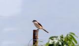 Long-tailed Shrike_5219.jpg