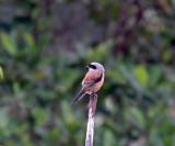 Long-tailed Shrike_5497.jpg