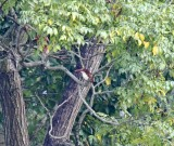 White-throated Kingfisher_5389.jpg
