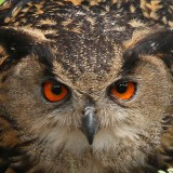 Owls of the Netherlands