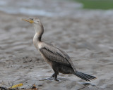 Cormorants and Anhingas