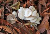 Marasmius wynnei BestwoodCP Nov-13 RR.jpg