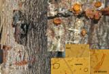 Orbilia comma on br-leaf branch ClarboroughNR Feb-14 HW m.jpg