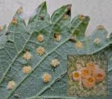 Puccinia urticata on Urtica dioica RuffordCP May--14 HW m.jpg