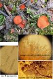 Scutellinia trechispora GamstonWood Jul-14 HW m.jpg