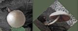 Volvariella bombycina Beeston Jul-14 BB m.jpg