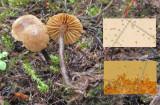 Naucoria scolecina LangoldCP Oct-14 HW s.jpg