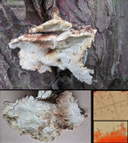 Postia balsamea on yew trunk Langold CP Oct-14 HW s.jpg