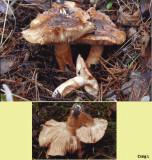 Tricholoma batschii with Lodgepole Pine BestwoodCP Notts Nov-14 CL m.jpg